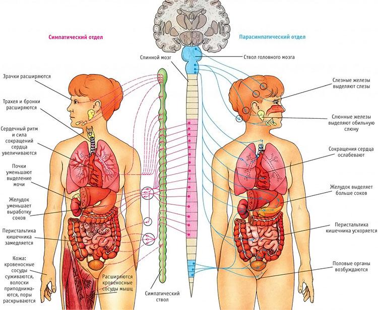 Вегето-сосудистая дистония по гипотоническому типу: лечение, причины, симптомы